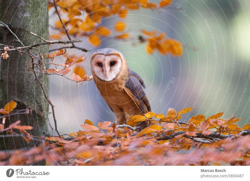 Schleiereule, Tyto alba, barn owl Barn Owl Barnyard Owl Cave Owl Church Owl Common Barn Owl Death Owl Delicate Owl Demon Owl Dobby Owl Eule Eulen Raubvogel