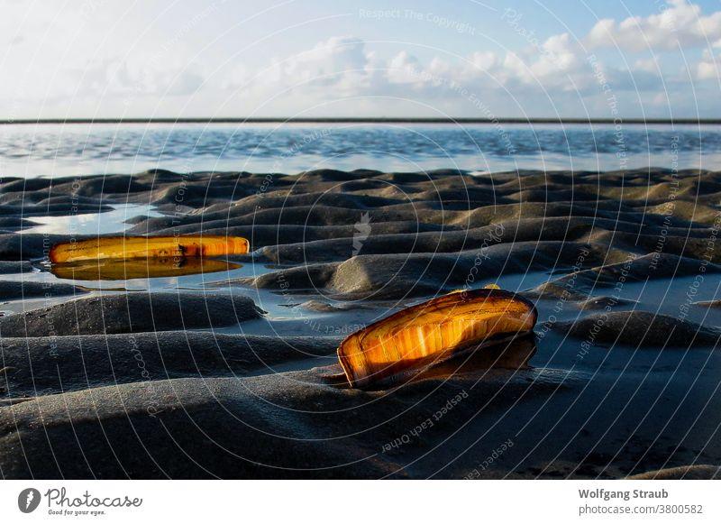 Muscheln im Gegenlicht im Wattenmeer Nordsee Sandbank St. Peter-Ording Rippeln orange Pfahlmuscheln Urlaub Außenaufnahme Wasser Strand Küste Meer
