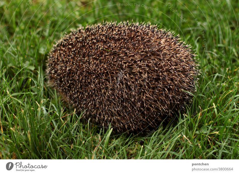Ein igel sitzt zusammengerollt auf einer wiese, sodass man nur die Stacheln sieht natürlich braun Säugetier Gras grün Herbst niedlich Wiese stachelig Natur Tier