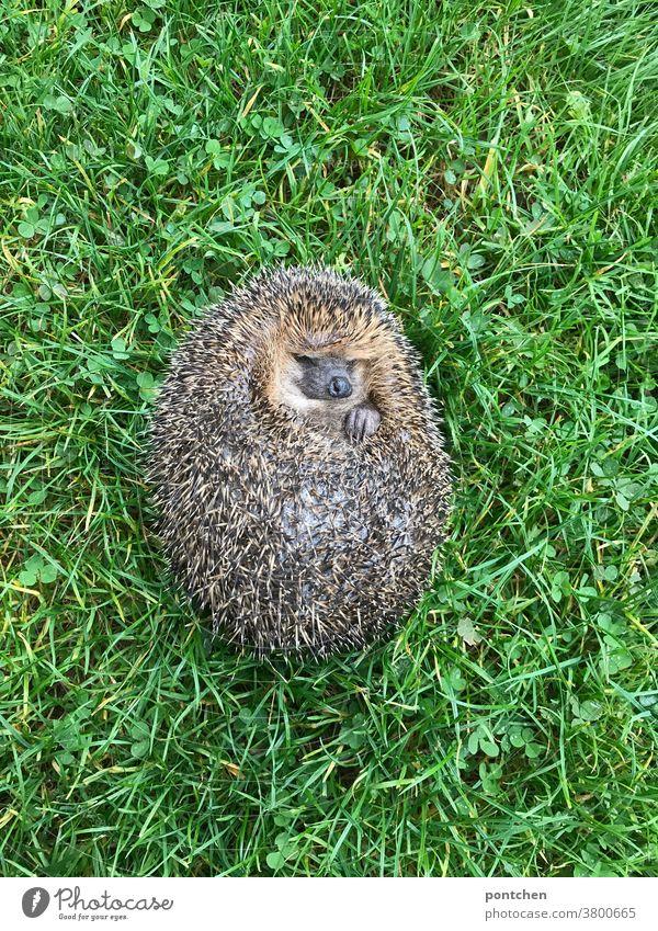 Ein Igel liegt schlafend auf dem Rücken im Gras Wildtier liegen Stacheln Tier Natur stachelig Wiese niedlich Herbst grün Säugetier braun natürlich Schnauze