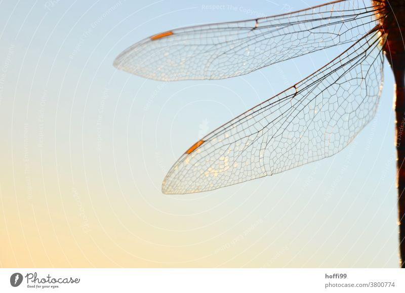 Libellenflügel im Sonnenlicht Flügel transparenz Tier Insekt Wildtier Natur 1 Makroaufnahme Tierporträt