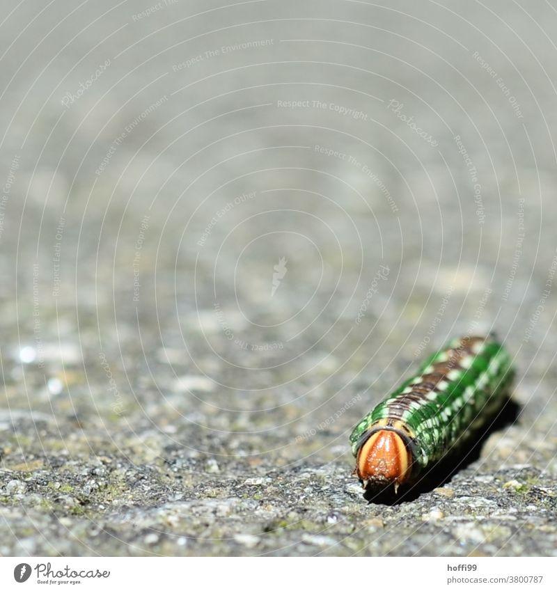 die Raupe des Kiefernschwärmers (Sphinx pinastri) kreuzt den Weg Raupen Motten Insekt Schmetterling grün gelb krabbeln Tier Makroaufnahme Nahaufnahme