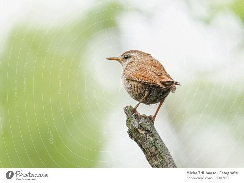 Zaunkönig schaut sich um Troglodytes troglodytes Tiergesicht Kopf Schnabel Auge Flügel Feder gefiedert Krallen Vogel Wildtier Natur Schönes Wetter Sonnenlicht