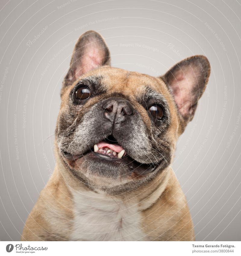 Studioporträt eines ausdrucksstarken französischen Bulldoggenhundes vor neutralem Hintergrund französische Bulldogge Hund Schnauze Zunge Mops Reinrassig