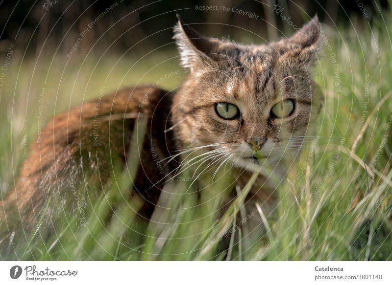 Eine kleine, getigerte Katze duckt sich im hohen Gras Flora Fauna Tier Haustier Pflanze Grashalm Wiese verschtecken sitzen beobachten Sommer ruhig Grün Braun