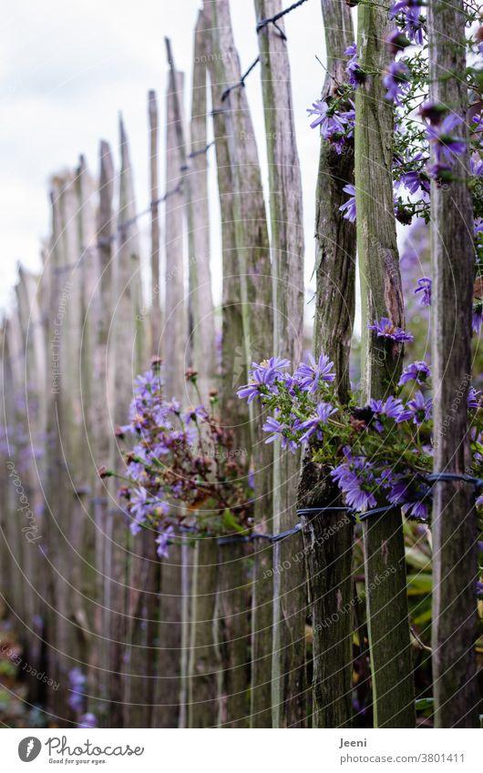 Staketenzaun mit lila Herbstaster Aster violett Astern Blume Blüte Garten Gartenzaun blühen Blütenblatt buschig Zaun natürlich Natur Pflanze Nahaufnahme schön