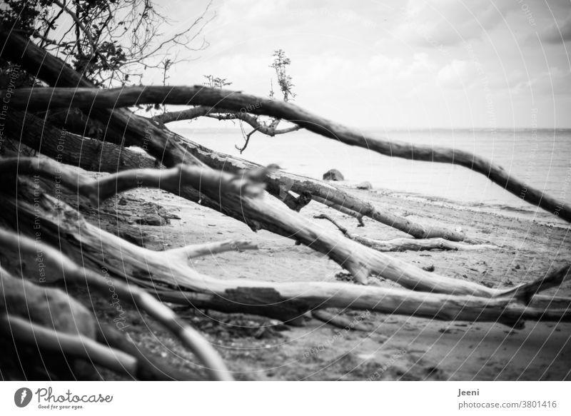 Am Meer liegen Bäume am Strand und versperren den Weg Ostsee Ostseeküste Küste Wasser Treibholz Baum Steilküste Ferne Brodten Brodtener Ufer Schleswig-Holstein