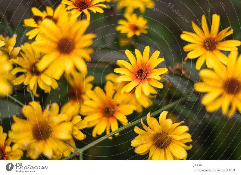 Sommerblume / Herbstblume leuchtet in den Farben gelb und orange im Garten Blume Pflanze Natur Sonnenhut Blüte Blüten Biene grün Gartenzaun Naturschutz Bienen