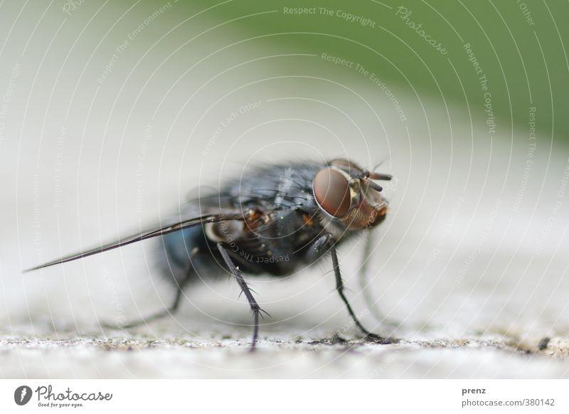 Fliegenklatsche, ich warte. Umwelt Natur Tier Wildtier 1 blau grün Insekt Facettenauge Farbfoto Außenaufnahme Nahaufnahme Makroaufnahme Menschenleer