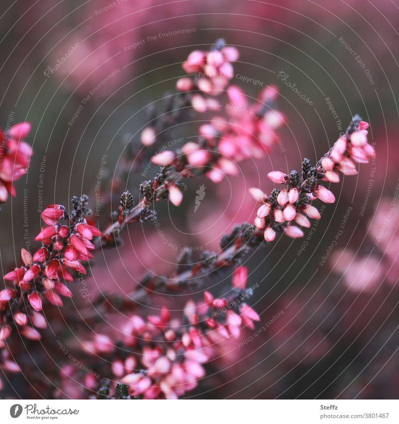 blühende Heide im September Erika Calluna Sträucher heimisch Heideblüte Bergheide Heidekraut romantisch nordisch Romantik natürlich Calluna Vulgaris rosa
