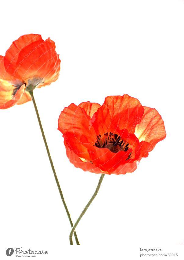 Kunstmohn Natur Blume Freisteller orange Dekoration & Verzierung Mohn Stillleben Schwäche künstlich tiefgründig Makroaufnahme Kunstblume