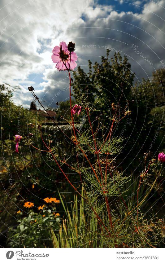 Cosmea im Spätsommer blume blühen blüte erholung ferien garten gras himmel kleingarten kleingartenkolonie menschenleer natur pflanze ruhe schrebergarten stamm