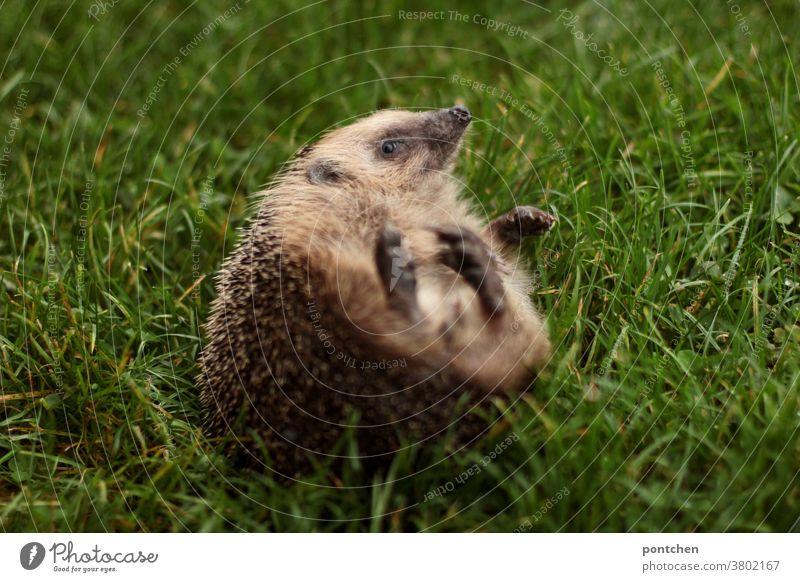 Ein Igel liegt auf dem Rücken im gras wildtier strampeln liegen wiese Gras süß rücken hilfsbedürftig stacheln Tier niedlich Säugetier braun klein Herbst