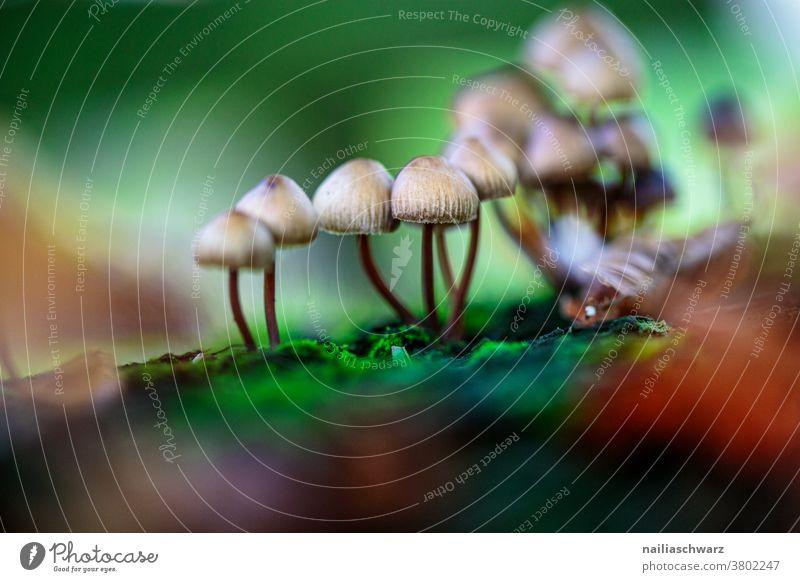 Pilze pilze suchen Wald Waldboden Waldstimmung Detailaufnahme Nahaufnahme Außenaufnahme Farbe Farbfoto niedlich natürlich Wachstum dünn Galerina Wildpflanze