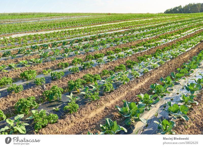 Biologisches Gemüseanbau-Feld mit Flecken, die bei Sonnenuntergang mit Plastikmulch bedeckt sind. Bauernhof organisch Öko plastische Kultur Lebensmittel