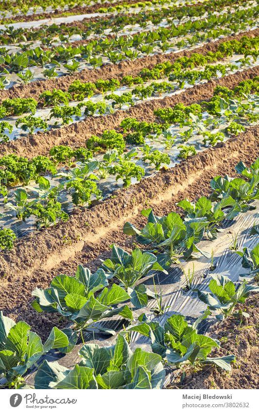 Bio-Bauernfeld mit mit Plastikmulch bedeckten Flecken bei Sonnenuntergang. Gemüse Bauernhof Feld organisch Öko plastische Kultur Lebensmittel Ackerbau