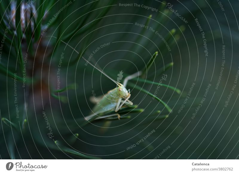 Der kleine Grashüpfer sitzt auf Kiefernnadeln Natur Flora Fauna Pflanze Tier Nadelbaum Insekt sitzen beobachten Grün verschtecken Garten