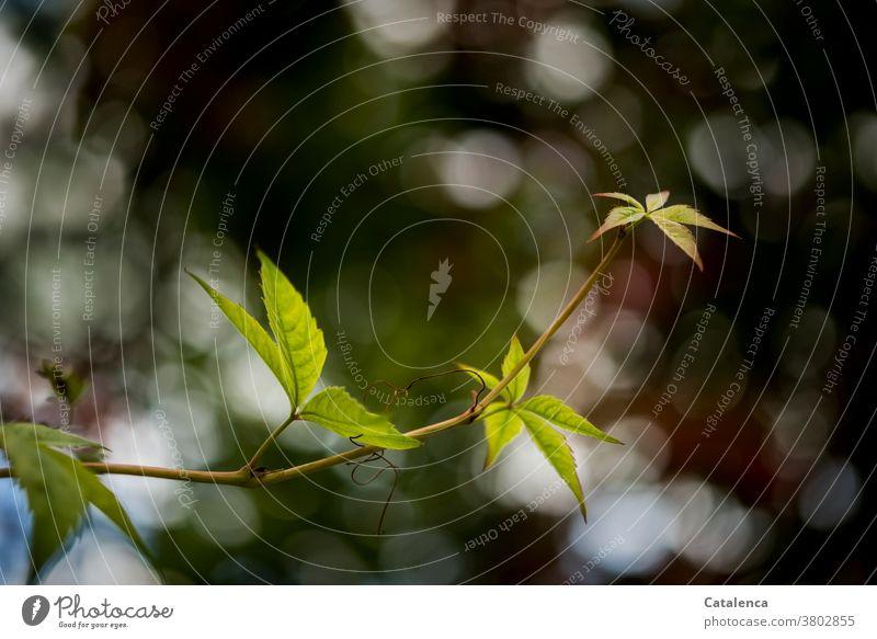 Die Ranke des Wilden Weins erstreckt sich  und hebt sich vom Hintergrund ab Natur Flora Pflanze Weinrebegewächse Wilder Wein Rankpflanze Blätter wachsen Herbst