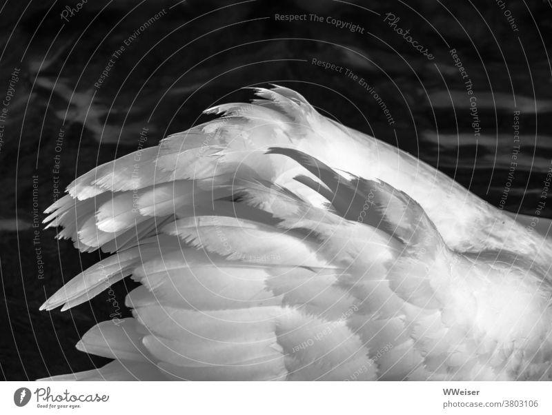 Die Flügel eines jungen Schwans, der größer wirken möchte Federn weiß edel elegant schwimmen Vogel fliegen Wasser Wasservogel See schwarzweiß schön Wellen