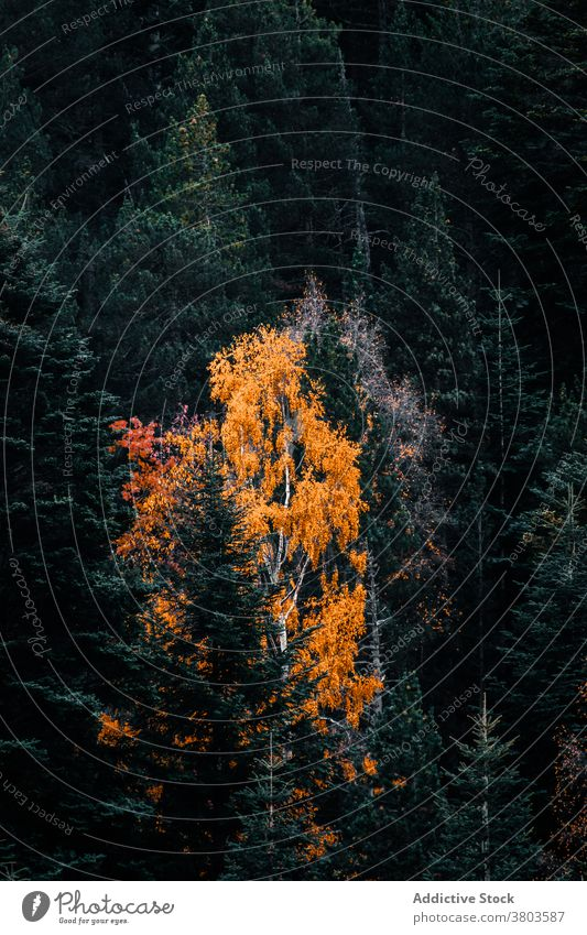 Bunte dichte herbstliche Waldlandschaft Herbst farbenfroh Baum nadelhaltig fallen Wälder Waldgebiet Saison Natur Laubwerk Umwelt Landschaft Hintergrund