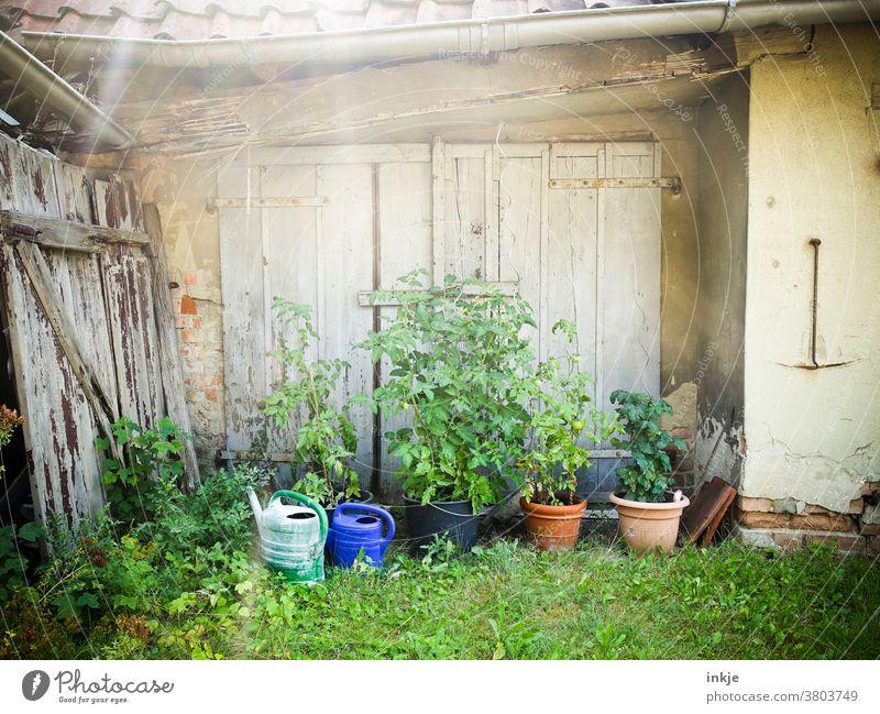 Tomatenpflanzen im verwilderten Hinterhof Außenaufnahme Farbfoto Menschenleer gegenlicht Tag Tomatnepflanzen Anbau Ernte Gißekannen Holztor verschlossen alt Tor