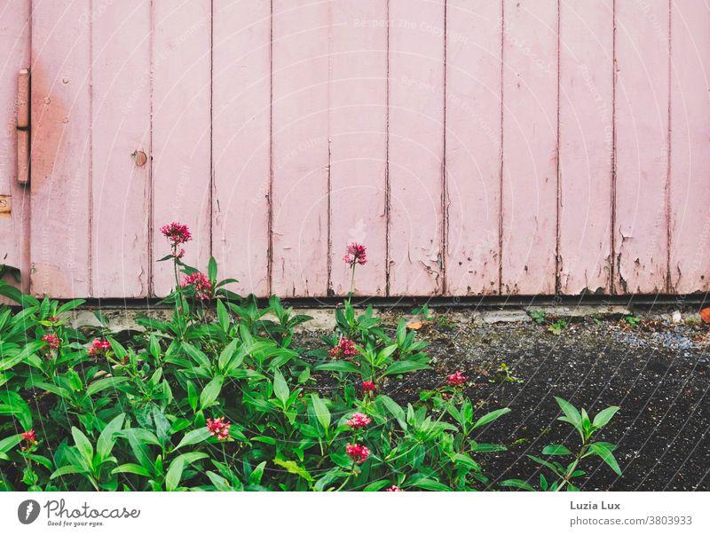 Rosa Ton in Ton: ein Bodendecker mit leuchtenden kleinen Blüten breitet sich vor einem Garagentor aus Fetthenne hohe Fetthenne rosa Tor alt abblätternd Farbe