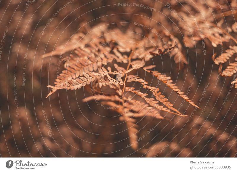 braune schrumpelige Herbst-Adlerfarnblätter im Wald Natur Pflanze Gras Wurmfarn Blatt Feld Blätter gelb Makro Sonnenuntergang Ast natürlich vereinzelt fallen