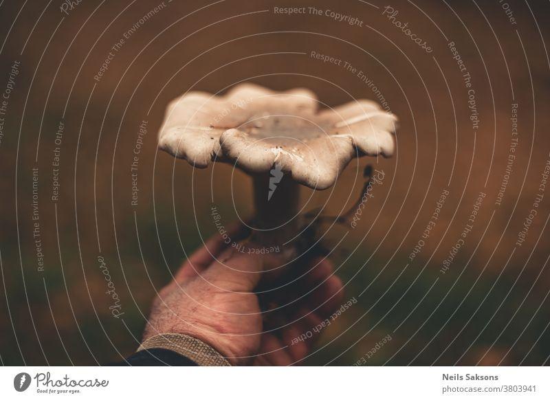 Hand der Person mit einem pilzgetrübten Primärpilz Pilz Herbst Natur Wald braun Pilze Makro Lebensmittel weiß essbar Pflanze Nahaufnahme wild Saison