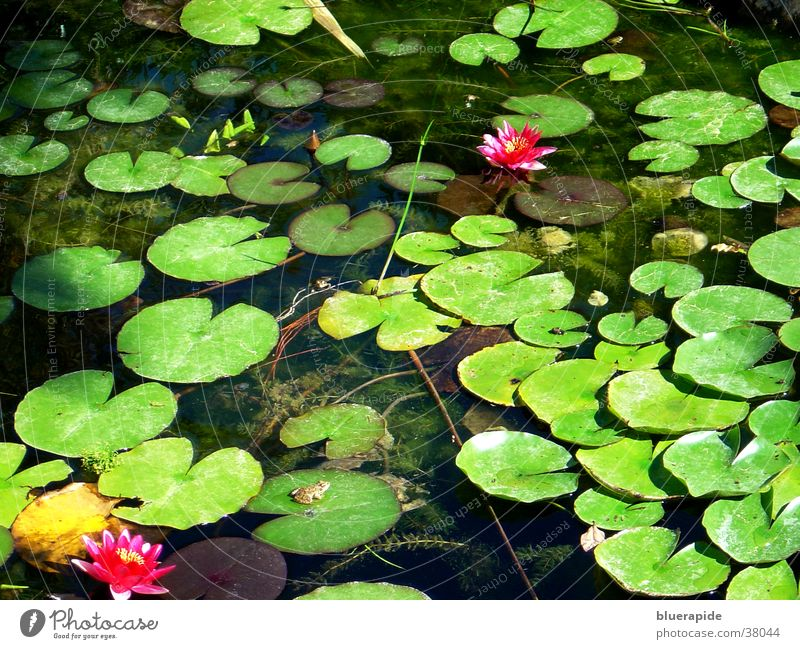 Seerosenteich Wasser Blume grün Blatt Blüte Stimmung glänzend rosa nass Rose Frosch Teich Oberfläche Belichtung Goldfisch Seerosen
