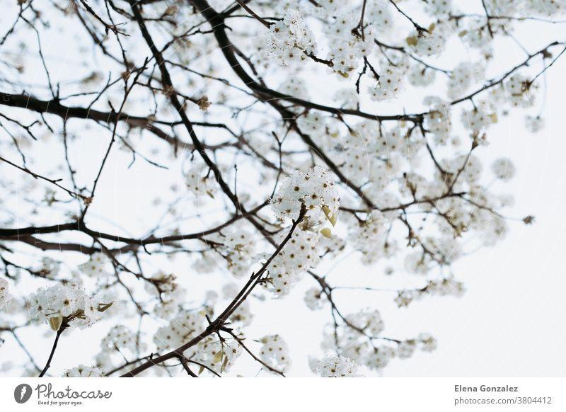 Zweig mit weißen Blüten Baum im Frühling weiße Blumen Ast Mandel weiches Licht Hintergrund jung Detailaufnahme Obstgarten Kirsche Schönheit Himmel Natur