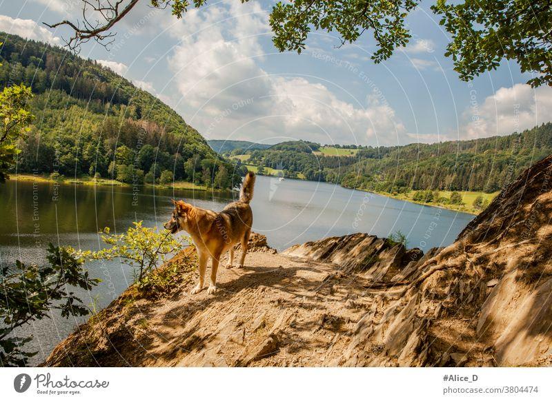 Wanderhund am Rursee Eifel Nationalpark Natur Landschaft Idylle Seeufer wandern Wanderung Bäume Mischwald Laubwald Urlaub Naturschutz menschenleer Einsamkeit