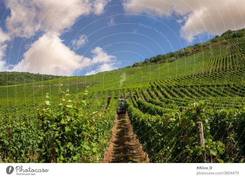 Weinberg an der Mosel Sommer Weinbau Natur Landschaft Rheinland-Pfalz Ruhe wandern Mosel (Weinbaugebiet) Idylle Moseltal Flussufer Weinrebe Weinstock