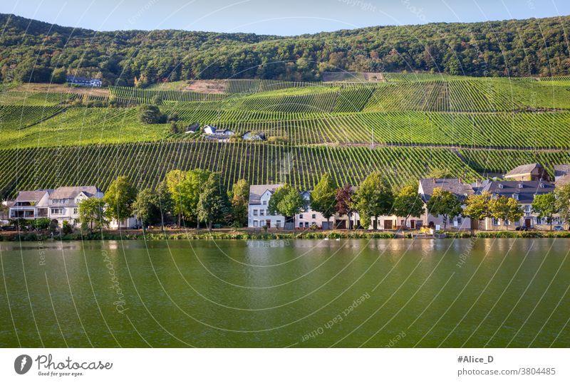 Mosellandschaft in Piesport Ferien & Urlaub & Reisen Sommer Weinbau Natur Weinberg Landschaft Rheinland-Pfalz Ruhe wandern Fluss Tourismus Mosel (Weinbaugebiet)