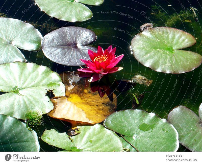 Seerose im Licht Rose Seerosen Blatt Teich grün Tümpel. Licht Frosch