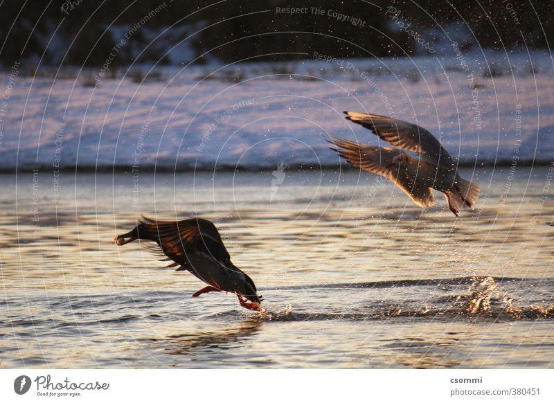 chasing Winter wild rennen Appetit & Hunger Jagd Möwe Ente Konkurrenz füttern Neid Gier Beute flüchten Feindseligkeit gefräßig Verfolgung