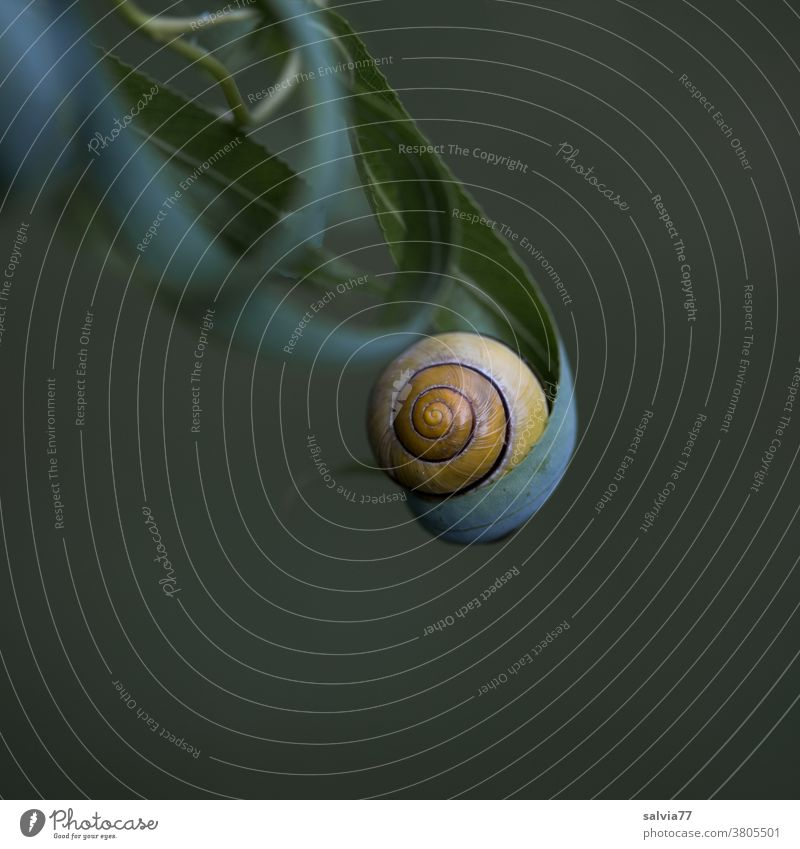 Geborgenheit Schneckenhaus Natur Blatt Schutz rund Spirale getragen gerollt Blätter Weide Nahaufnahme Formen und Strukturen Hintergrund neutral Pflanze