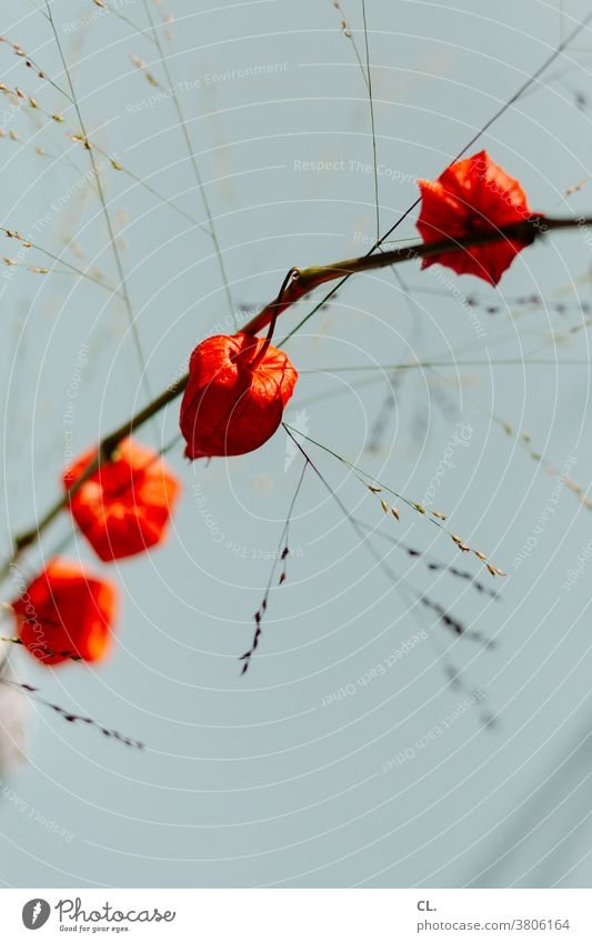 lampionblume Lampionblume Physalis Blüte Blume Kapstachelbeere Pflanze Dekoration & Verzierung orange Herbst Nahaufnahme Detailaufnahme Schwache Tiefenschärfe