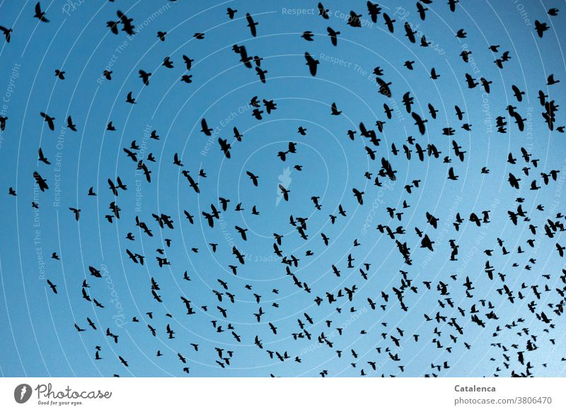 Ordnung im Chaos | Flugordnung  im Starenschwarm Natur Vögel Tiere Schwarm Vogelschwarm fliegen Flugformation Himmel Schwarz schnell viele Durcheinander Tag
