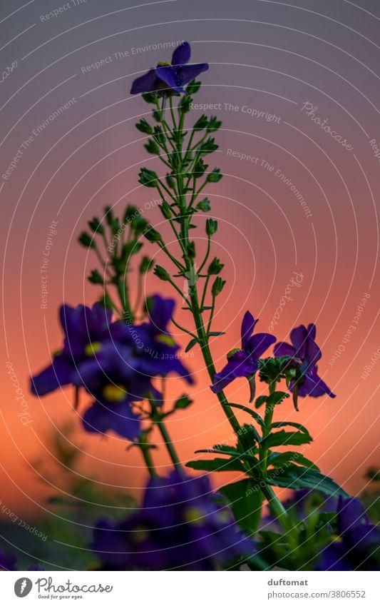 Makro Aufnahme einer lila Blume vor rotem Sonnenuntergang orange Abend Natur Blüte Pflanze violett Blühend Schwache Tiefenschärfe Außenaufnahme Menschenleer