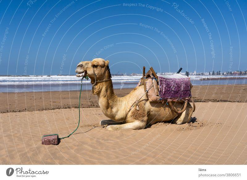 Wüstenschiff am Meer Kamel Dromedar Marokko Afrika Sand Strand Tier Tourismus Ferien & Urlaub & Reisen Außenaufnahme Pause Rastplatz