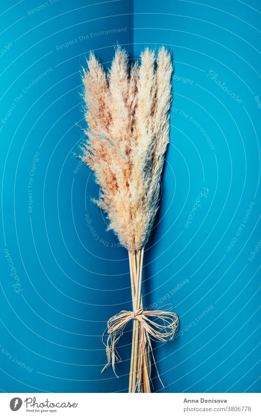 Getrocknetes Pampas-Gras Pampamgras Requisiten Schilfhalm Trockenblumen geblümt Ordnung Blumenstrauß Pflanze getrocknet Design natürlich Natur