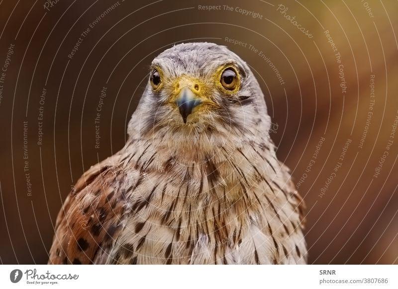 Turmfalke (Falco Tinnunculus) Tier Vogel Falken Tagesvogel Augen falco tinnunculus Greifvogel Falconidae Raubtier Ornithologie lebendige Natur Beute Gefieder