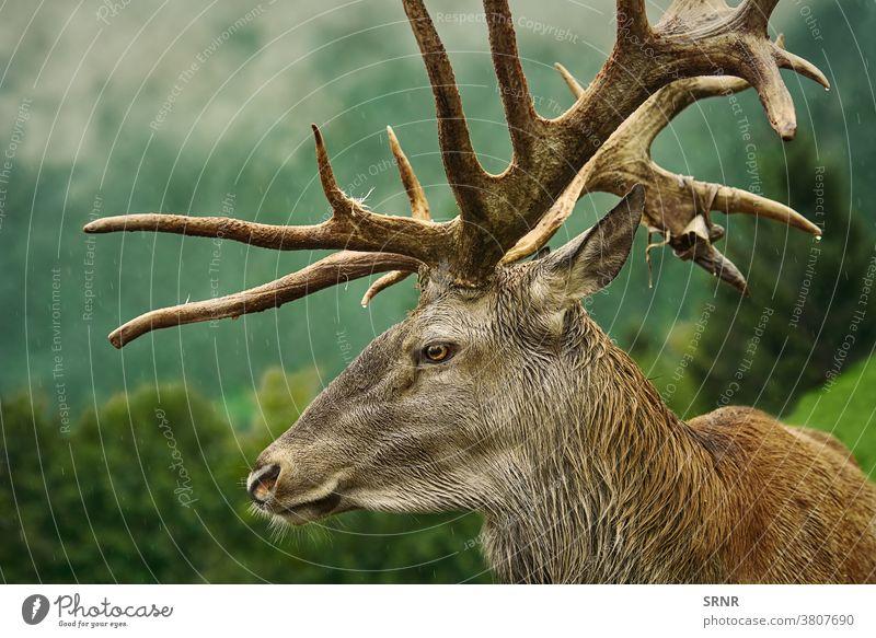 Rothirsch-Hirsch Porträt Tier Geweih Horn Artiodaktylus Zervidae Zervus elaphus mit Knackpunkt hohlfüßig mit gespaltenen Hufen Hirsche Hirschgeweih Ohren