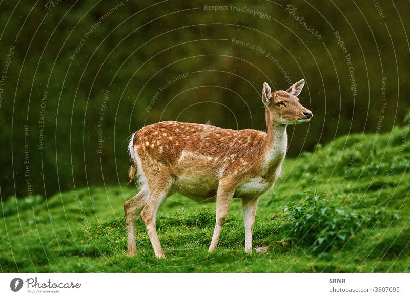 Hirsche am Waldrand Tier Zervidae chital Achse Achse Achsenhirsch cheetal Axishirsche Hirschkuh Ohren ausgeglichen Artiodaktylus mit Knackpunkt hohlfüßig