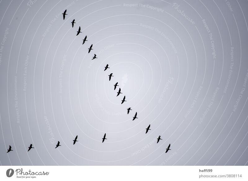 Kranichformation am Himmel Kraniche am Himmel Wildtier Formationsflug Vogel fliegen Zugvogel Herbst Schwarm Vogelschwarm Tiergruppe Nebel Nebelstimmung Freiheit