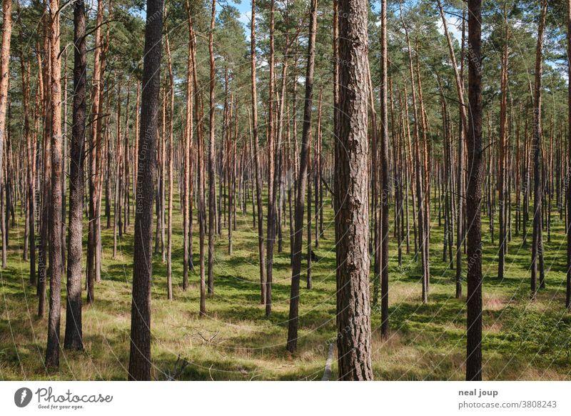 Kiefernwald, licht und hell Natur Wald Umwelt Monokultur regelmäßig Forstwirtschaft grün Nadelwald Labyrinth Baum Pflanze Sommer Menschenleer gleichmäßig Holz