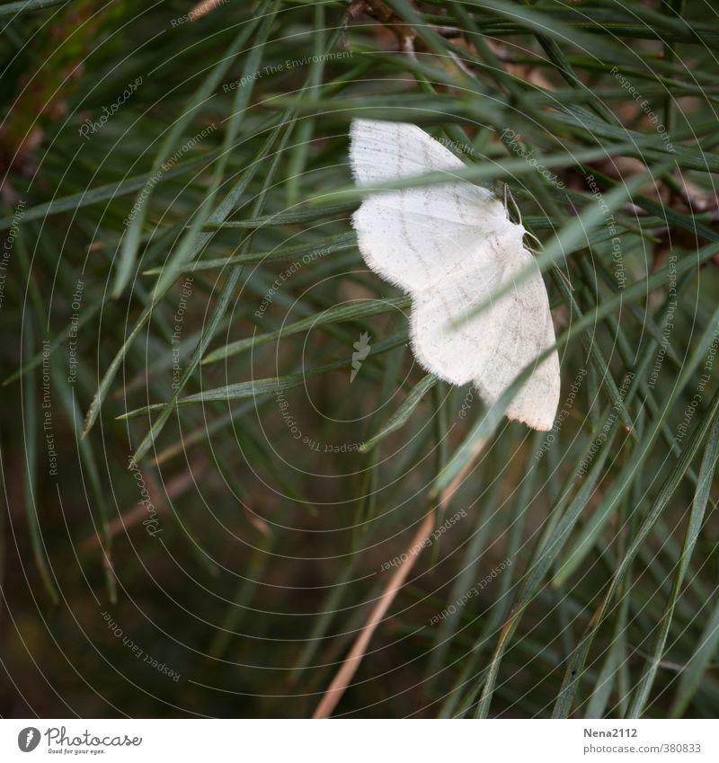 Peace-Motte Umwelt Natur Tier Frühling Sommer Gras Garten Wiese Feld Wald Schmetterling 1 weiß klein Kontrast Frieden Farbfoto Außenaufnahme Nahaufnahme