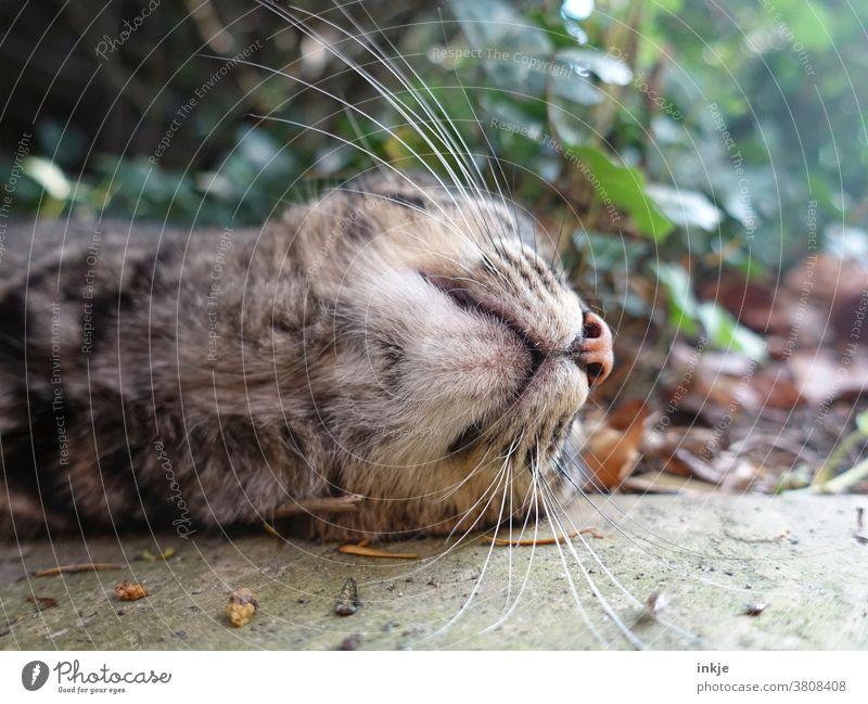Kinn einer liegenden Katze Farbfoto Nahaufnahme Froschperspektive Tier Haustier Schnurrhaare draußen ungewöhnlichm Herbst Schnauze unten am Boden Tierporträt