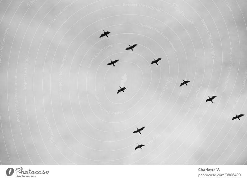 Kormoran-Geschwader Kormorane Wasservögel Tier Wildtier Wildtiere Außenaufnahme Natur Vogel Vögel Vögel fliegen Wasservogel Himmel Tag Freiheit aufwärts