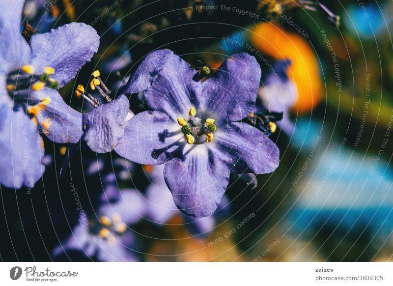 Detail einer violetten Blüte von Polemonium caeruleum Polmonium caeruleum Jakobs-Leiter griechischer Baldrian becherförmig lavendelfarben purpur Fliederbusch
